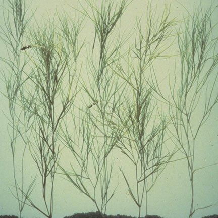 Narrowleaf Pondweed