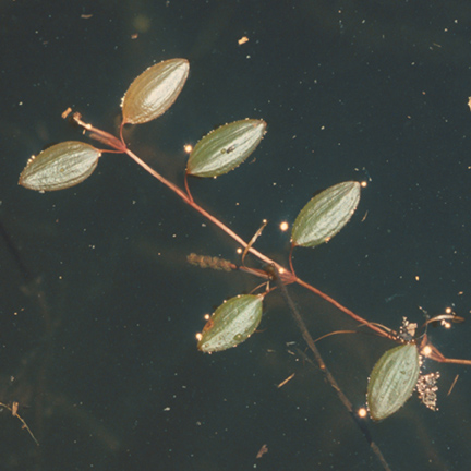 Variable Leaf Pondweed
